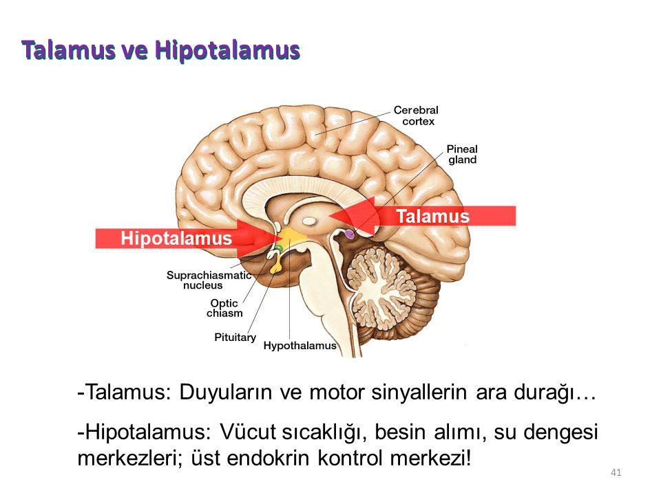 41 Talamus Hipotalamus -Talamus: Duyuların ve motor sinyallerin ara durağı… -Hipotalamus: Vücut sıcaklığı, besin alımı, su dengesi merkezleri; üst end
