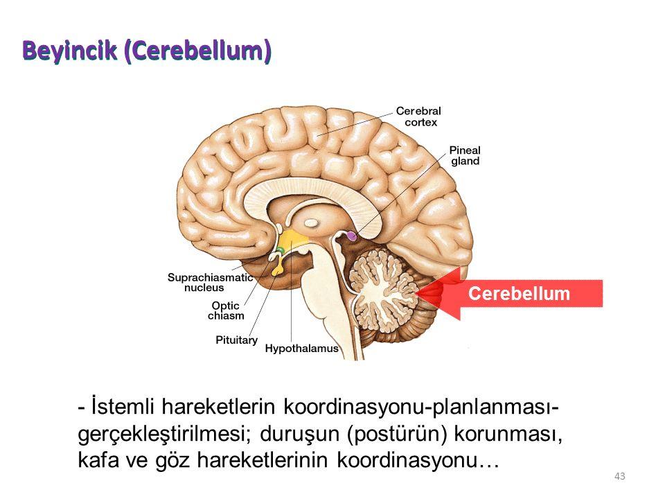 43 Cerebellum - İstemli hareketlerin koordinasyonu-planlanması- gerçekleştirilmesi; duruşun (postürün) korunması, kafa ve göz hareketlerinin koordinas