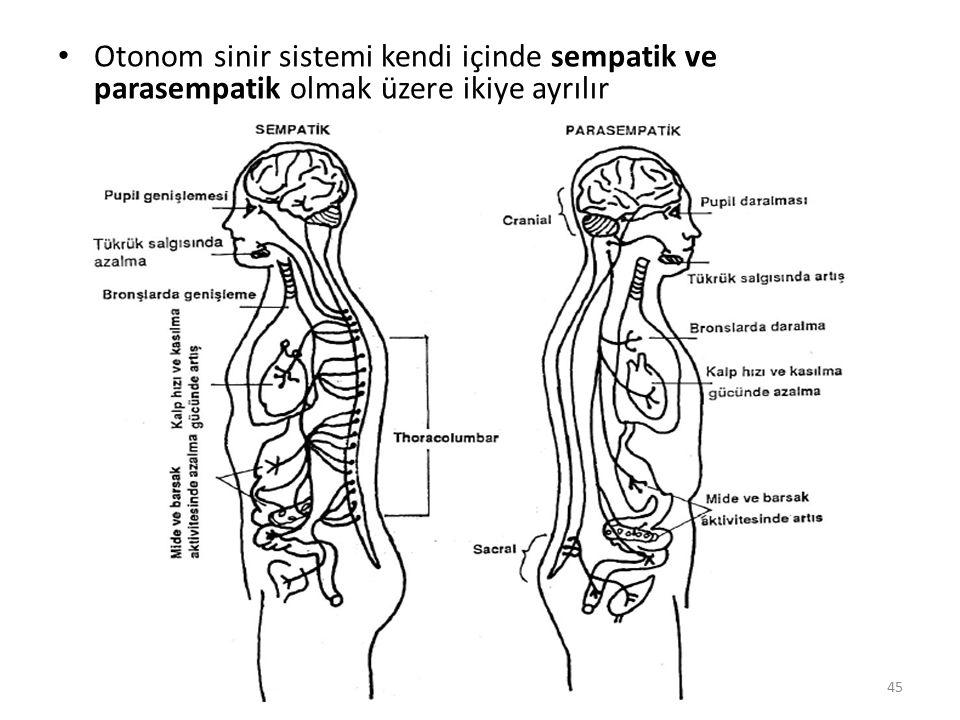 Otonom sinir sistemi kendi içinde sempatik ve parasempatik olmak üzere ikiye ayrılır 45