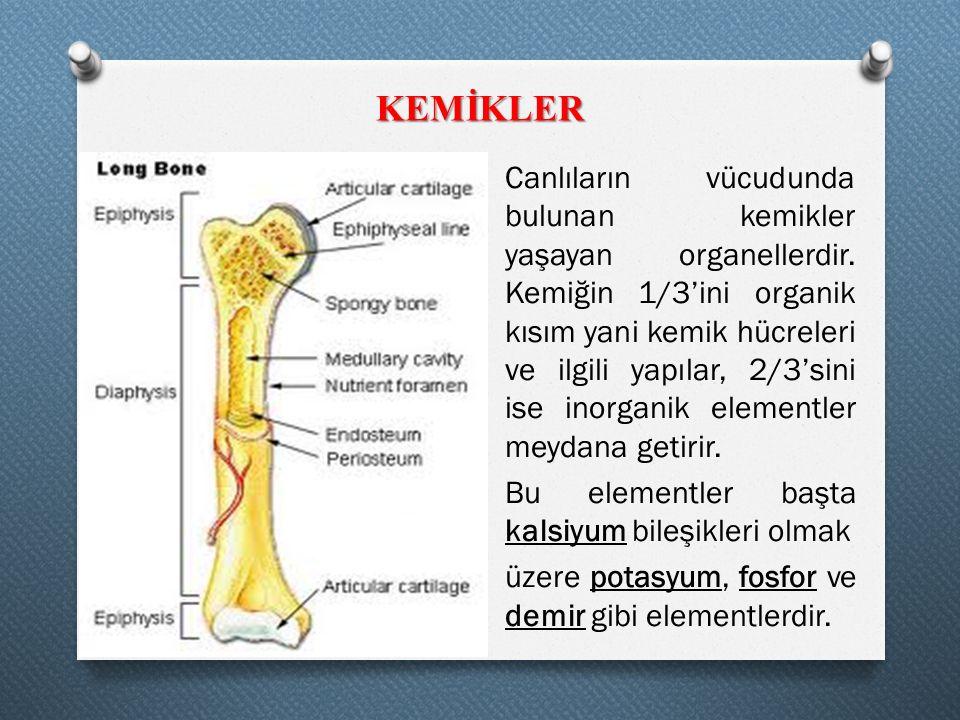 KEMİKLER Canlıların vücudunda bulunan kemikler yaşayan organellerdir. Kemiğin 1/3'ini organik kısım yani kemik hücreleri ve ilgili yapılar, 2/3'sini i