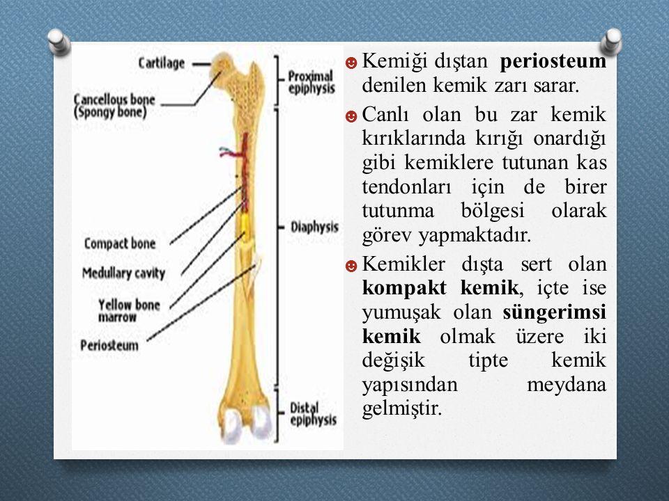 ☻ Kemiği dıştan periosteum denilen kemik zarı sarar. ☻ Canlı olan bu zar kemik kırıklarında kırığı onardığı gibi kemiklere tutunan kas tendonları için