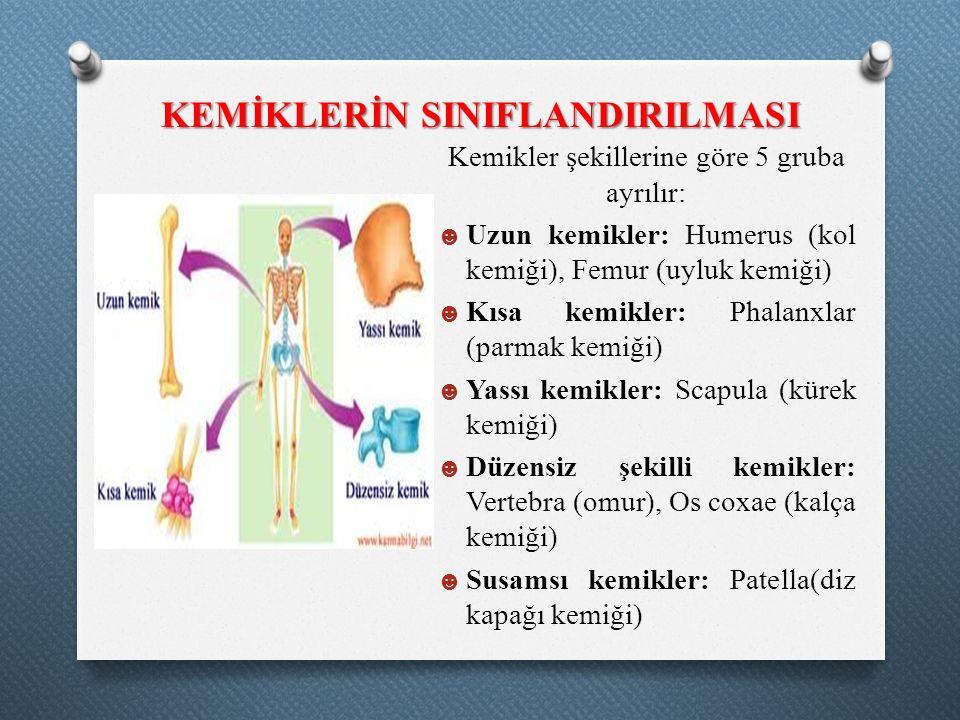 KEMİKLERİN SINIFLANDIRILMASI Kemikler şekillerine göre 5 gruba ayrılır: ☻ Uzun kemikler: Humerus (kol kemiği), Femur (uyluk kemiği) ☻ Kısa kemikler: P