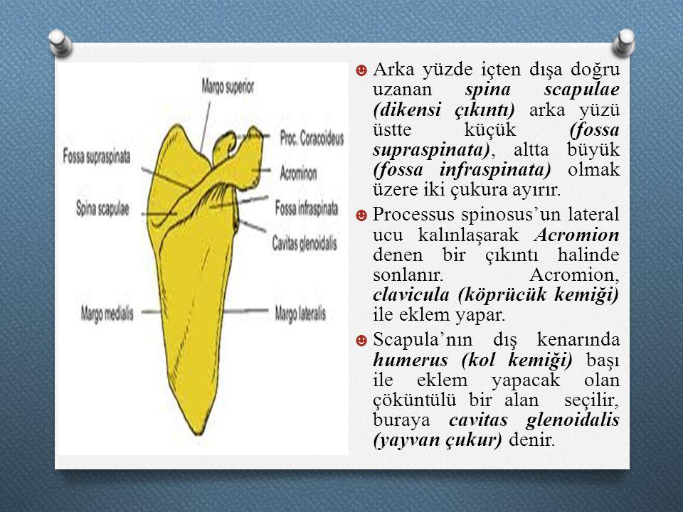 ☻ Arka yüzde içten dışa doğru uzanan spina scapulae (dikensi çıkıntı) arka yüzü üstte küçük (fossa supraspinata), altta büyük (fossa infraspinata) olm