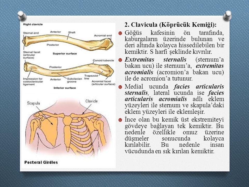2. Clavicula (Köprücük Kemiği): ☻ Göğüs kafesinin ön tarafında, kaburgaların üzerinde bulunan ve deri altında kolayca hissedilebilen bir kemiktir. S h