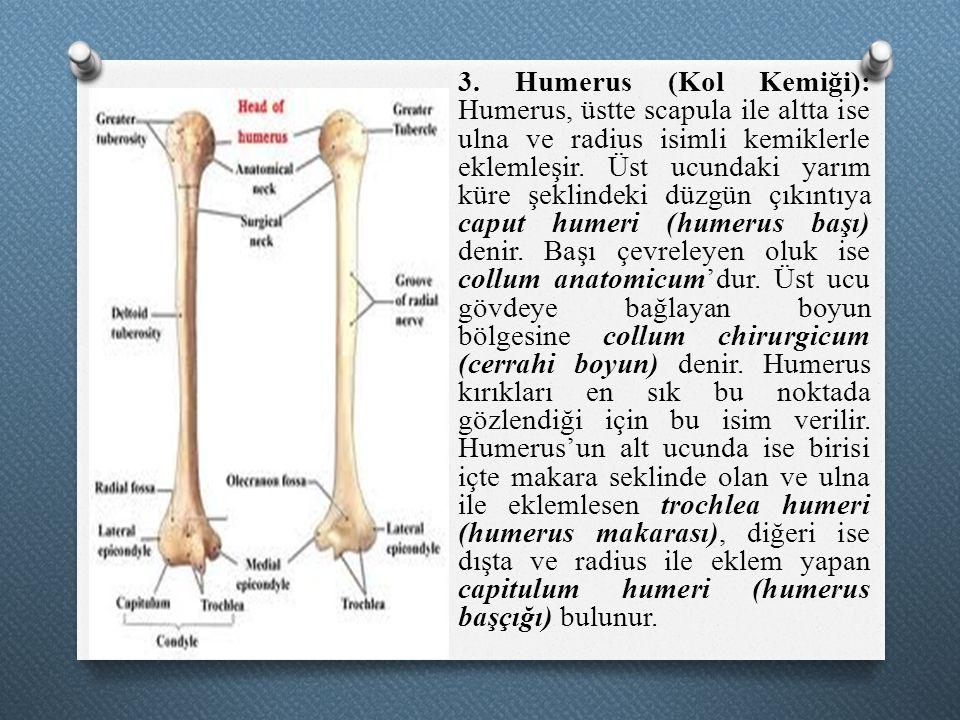 3. Humerus (Kol Kemiği): Humerus, üstte scapula ile altta ise ulna ve radius isimli kemiklerle eklemleşir. Üst ucundaki yarım küre şeklindeki düzgün ç