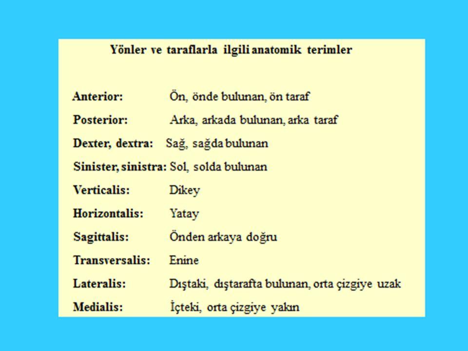 1.Humerus 2. Tuberositas radii 3. Ulna kemiği 4. Radius kemiği 5.