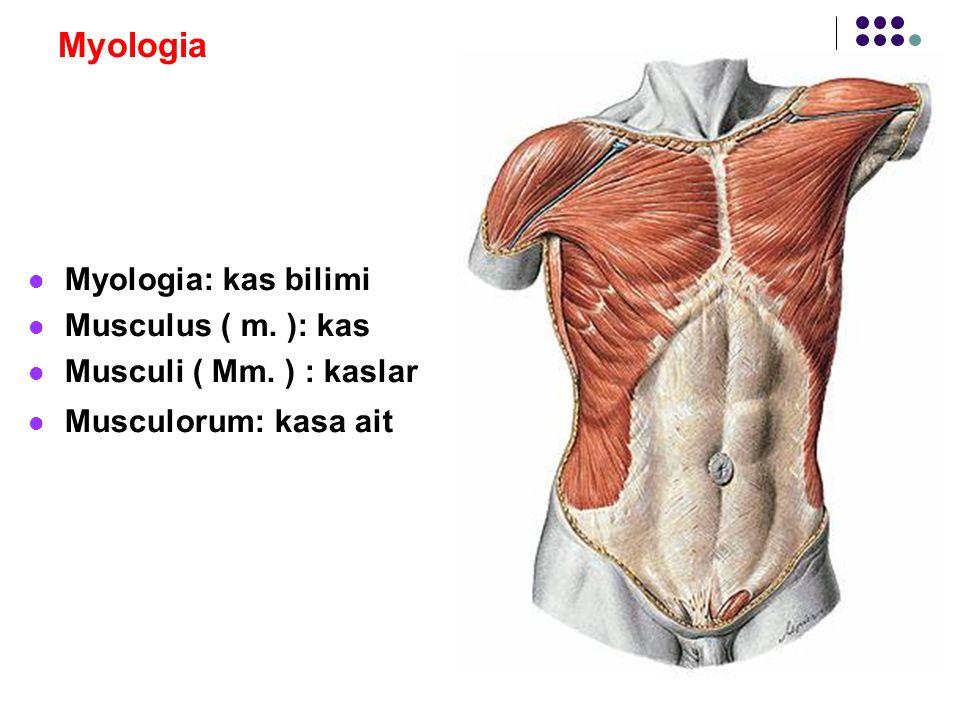 Myologia Kasların şekilleri: Ara kirişleri olan kas: Kas lifleri arasında ara kirişler var ( intersectio tendinea ) Ör: M.rectus abdominis