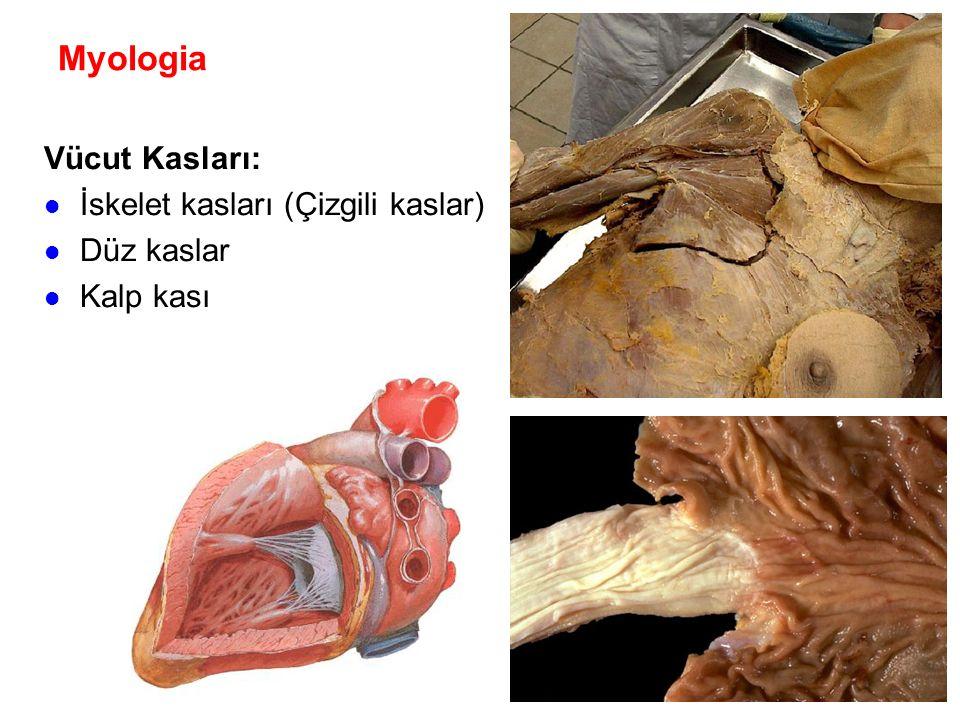 Myologia Fascia: Fibröz bağ dokusu Deri altında bulunur Kaslar ile diğer organları sarar Geniş yaprak şeklinde