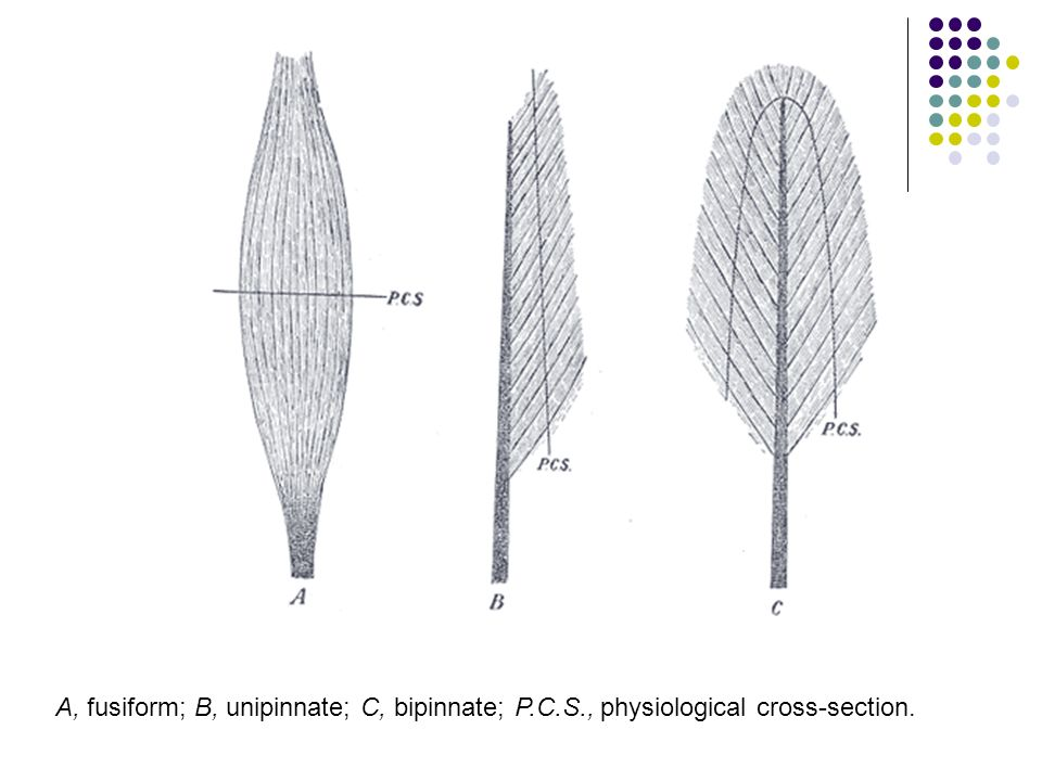A, fusiform; B, unipinnate; C, bipinnate; P.C.S., physiological cross-section.