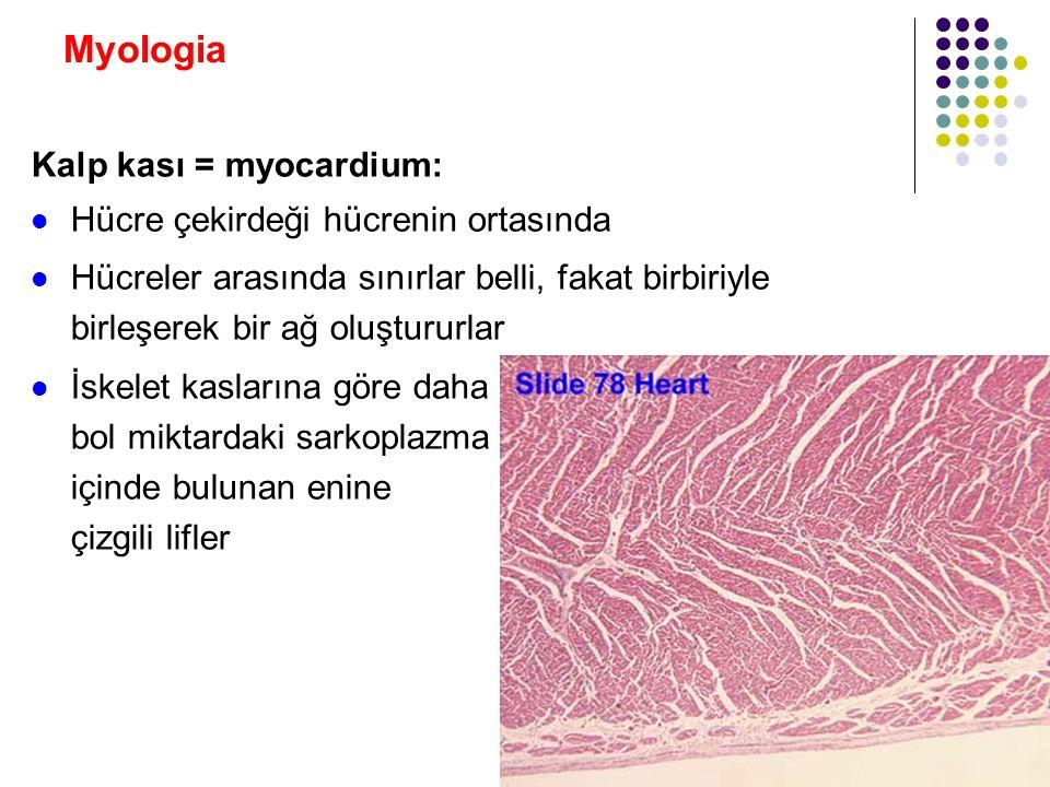 Myologia Kalp kası = myocardium: Histolojik yapı olarak iskelet kaslarına benzer Hareket ve inervasyon yönünden düz kaslara benzer Fizyolojik ihtiyaca göre çabuk, ritmik hareketler Otonom sinir sisteminin düzenlediği otonom hareketler