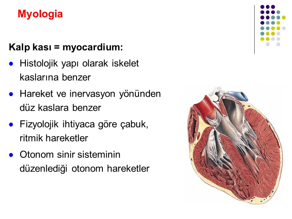 Myologia Kasların damarları: Damardan çok zengindirler Her bir kas lifi etrafında birkaç tane kapiller damar bulunur Arterler arasında çok sayıda anastomoz vardır Venlerinin içerisinde valvula'lar ( kapakçıklar ) vardır Kontraksiyon sonucu venlerdeki kanlar kalbe itilir Valvula'lar gevşeme sırasında kanın geri dönüşünü engellerler