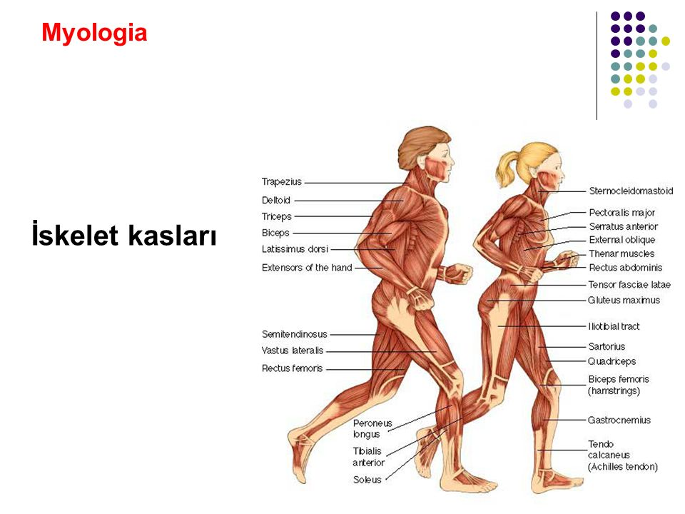 Myologia Kasların inervasyonu: Kaslara giden motor sinirler birkaç medulla spinalis segmentine ait Kası inerve eden sinirin; 3/5'i motor, 2/5'i sensitif ve sempatik lif içerir Bir sinir genellikle seyri boyunca etrafındaki kasları inerve eder Motor lifler kas liflerinde motor son-plak (end-plate)'ta sonlanır