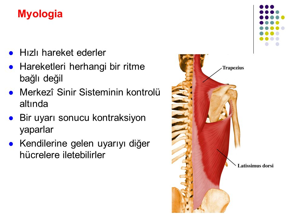 Myologia Kasların inervasyonu: Bir motor neuron ve stimüle ettiği kas liflerine, bir motor ünit denilir Bir motor neuron yaklaşık 150 kas lifini stimüle eder Hassas çalışan kaslarda 10 veya daha az Ör: Gözü hareket ettiren kaslar Kaba hareketler yapan kaslarda 500 kadar Ör: m.biceps brachii ve m.gastrocnemius Bu lifler birlikte kasılır veya gevşer