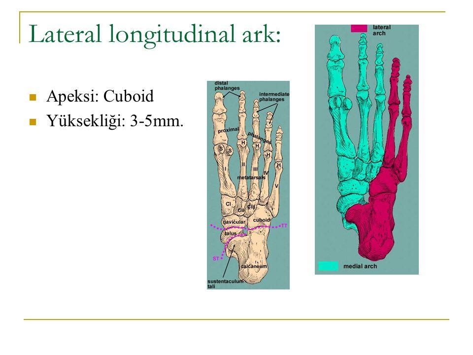 Lateral longitudinal ark: Apeksi: Cuboid Yüksekliği: 3-5mm.
