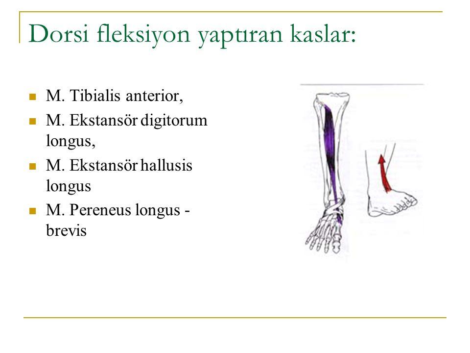 Dorsi fleksiyon yaptıran kaslar: M. Tibialis anterior, M. Ekstansör digitorum longus, M. Ekstansör hallusis longus M. Pereneus longus - brevis