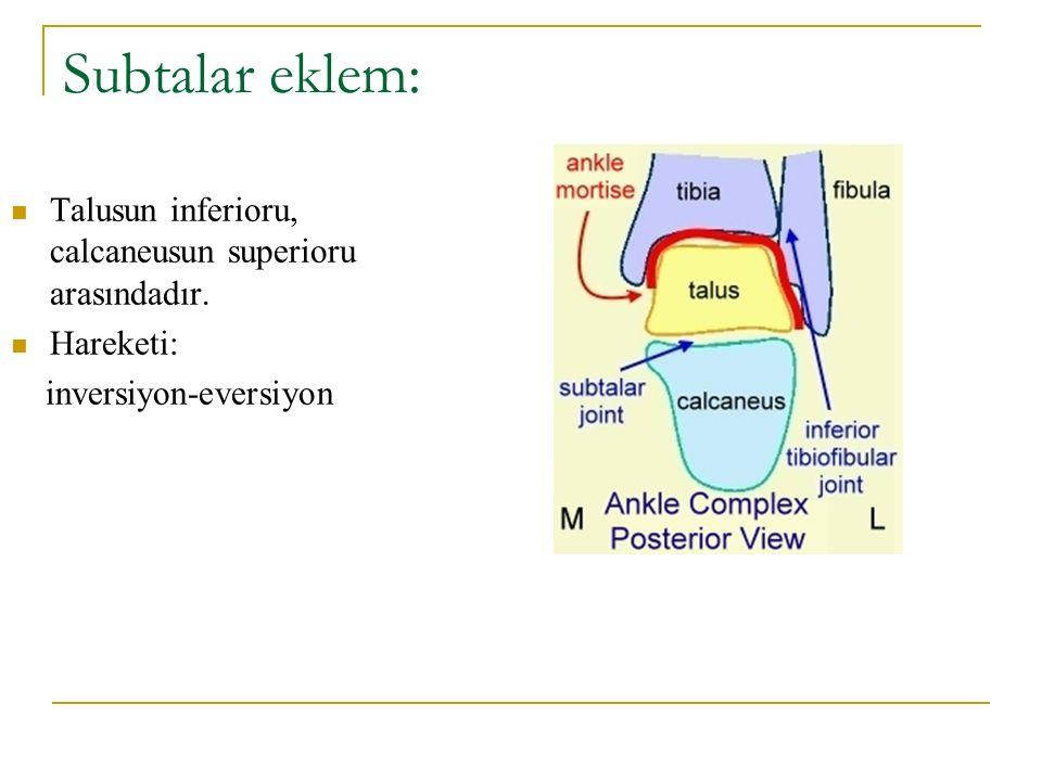 Subtalar eklem: Talusun inferioru, calcaneusun superioru arasındadır. Hareketi: inversiyon-eversiyon