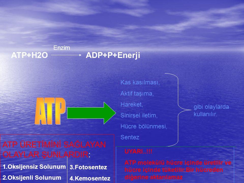 ATP+H2O Enzim ADP+P+Enerji Kas kasılması, Aktif taşıma, Hareket, Sinirsel iletim, Hücre bölünmesi, Sentez gibi olaylarda kullanılır.