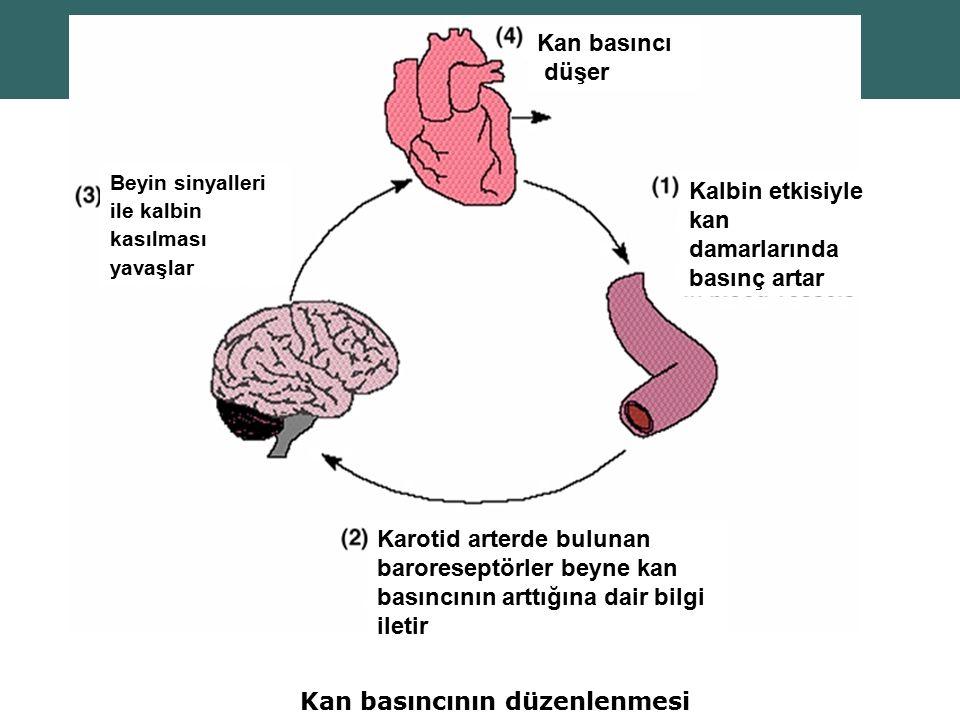 Copyright © 2004 Pearson Education, Inc., publishing as Benjamin Cummings Kan basıncının düzenlenmesi Kalbin etkisiyle kan damarlarında basınç artar K
