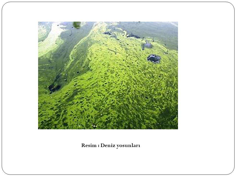 Resim : Deniz yosunları