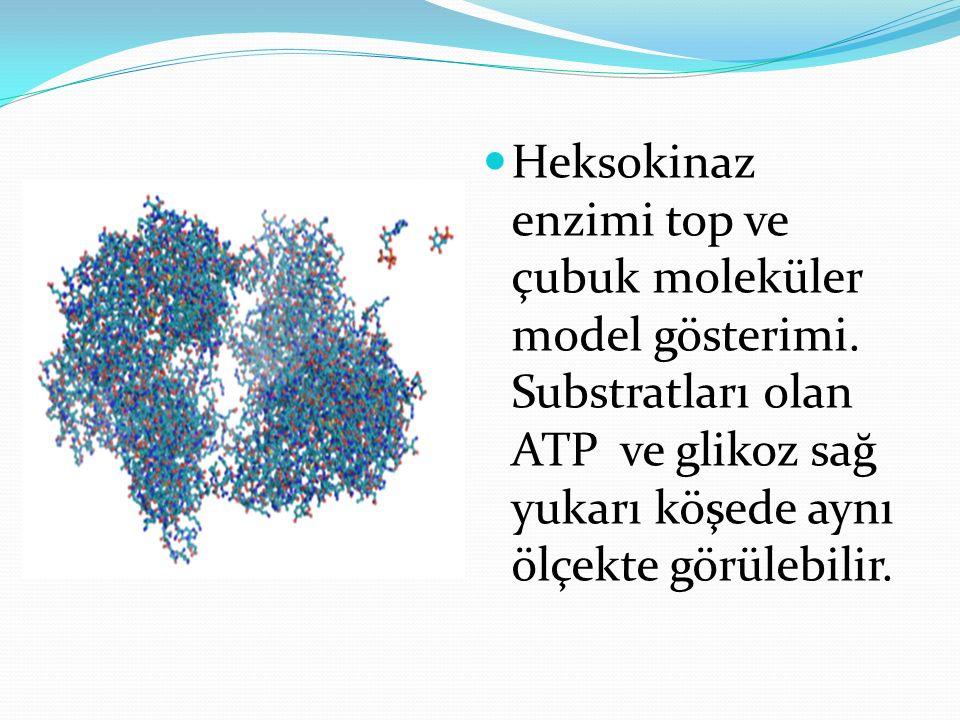 Heksokinaz enzimi top ve çubuk moleküler model gösterimi. Substratları olan ATP ve glikoz sağ yukarı köşede aynı ölçekte görülebilir.