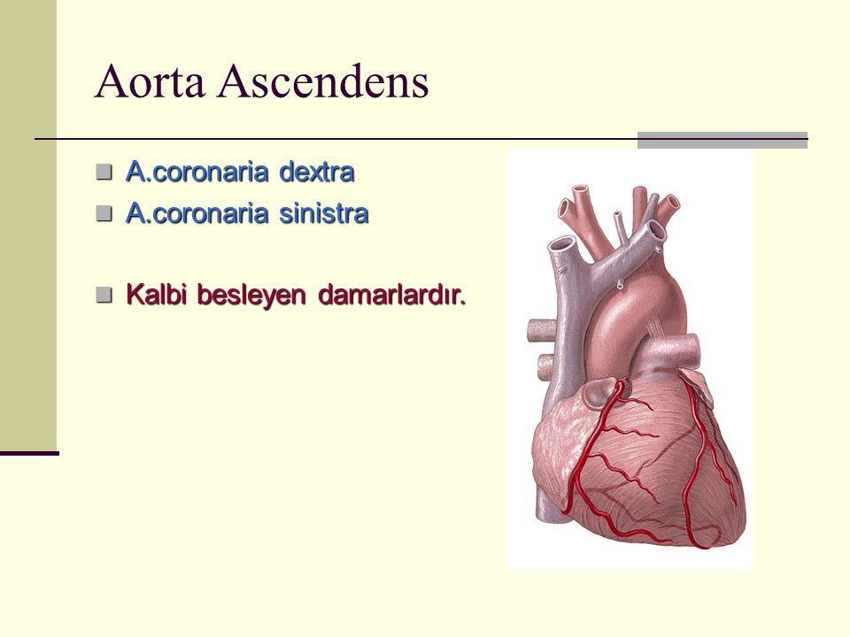 Aorta Ascendens A.coronaria dextra A.coronaria dextra A.coronaria sinistra A.coronaria sinistra Kalbi besleyen damarlardır. Kalbi besleyen damarlardır