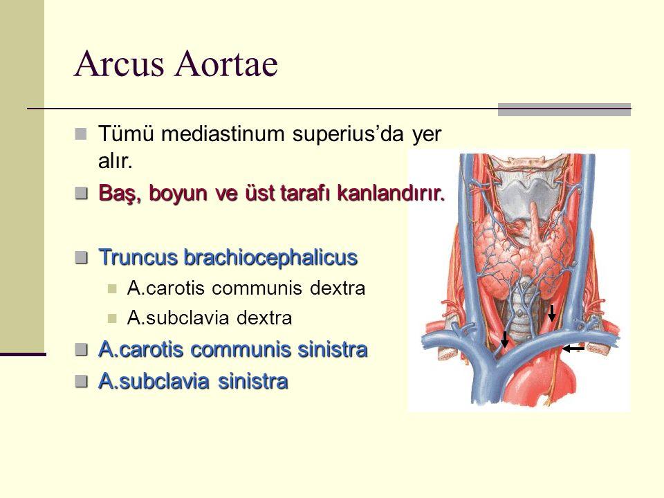 Arcus Aortae Tümü mediastinum superius'da yer alır. Baş, boyun ve üst tarafı kanlandırır. Baş, boyun ve üst tarafı kanlandırır. Truncus brachiocephali