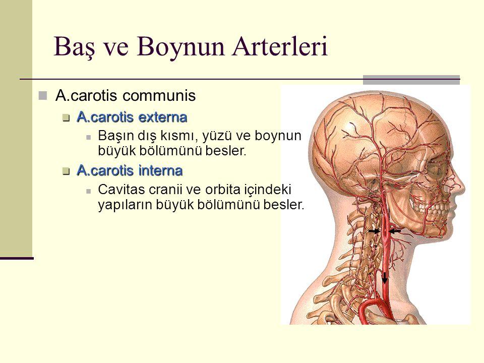 Baş ve Boynun Arterleri A.carotis communis A.carotis externa A.carotis externa Başın dış kısmı, yüzü ve boynun büyük bölümünü besler. A.carotis intern