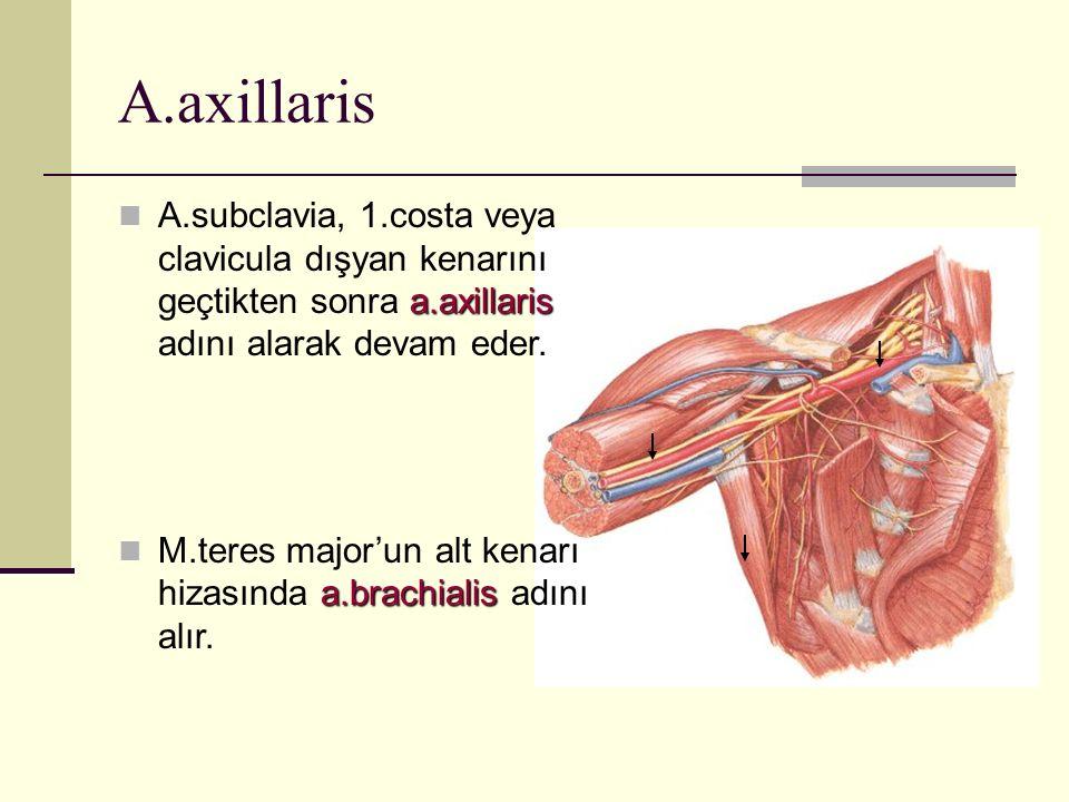 A.axillaris a.axillaris A.subclavia, 1.costa veya clavicula dışyan kenarını geçtikten sonra a.axillaris adını alarak devam eder. a.brachialis M.teres