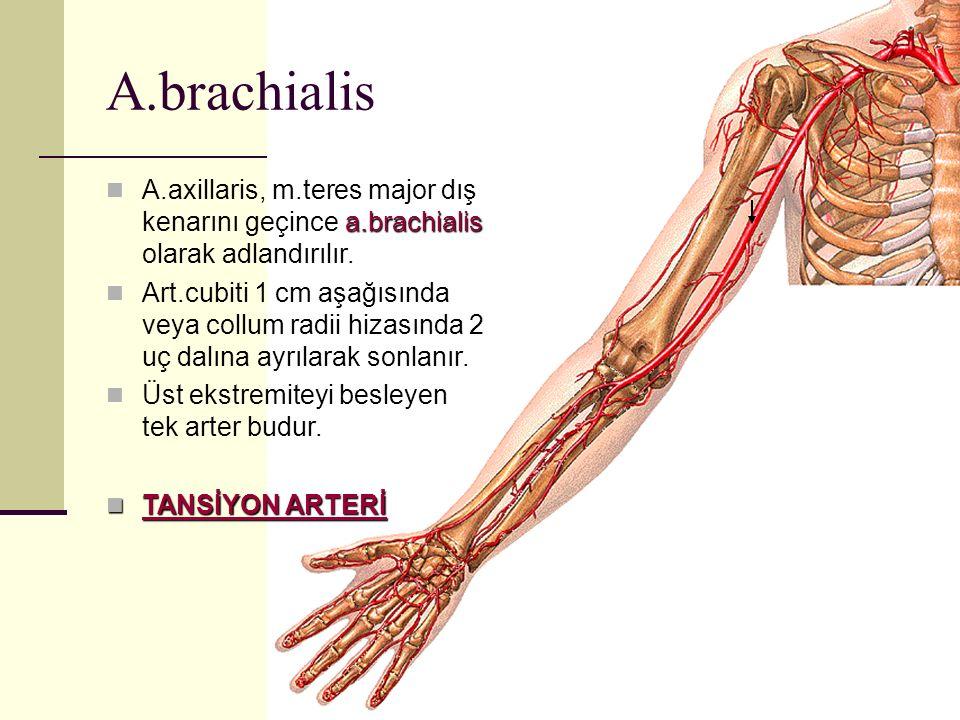 a.brachialis A.axillaris, m.teres major dış kenarını geçince a.brachialis olarak adlandırılır. Art.cubiti 1 cm aşağısında veya collum radii hizasında