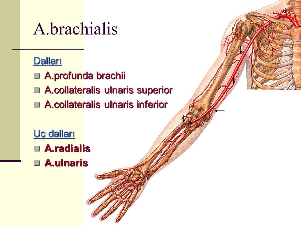 Dalları A.profunda brachii A.profunda brachii A.collateralis ulnaris superior A.collateralis ulnaris superior A.collateralis ulnaris inferior A.collat