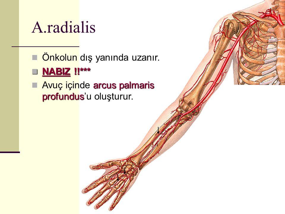 Önkolun dış yanında uzanır. NABIZ !!*** NABIZ !!*** arcus palmaris profundus Avuç içinde arcus palmaris profundus'u oluşturur. A.radialis
