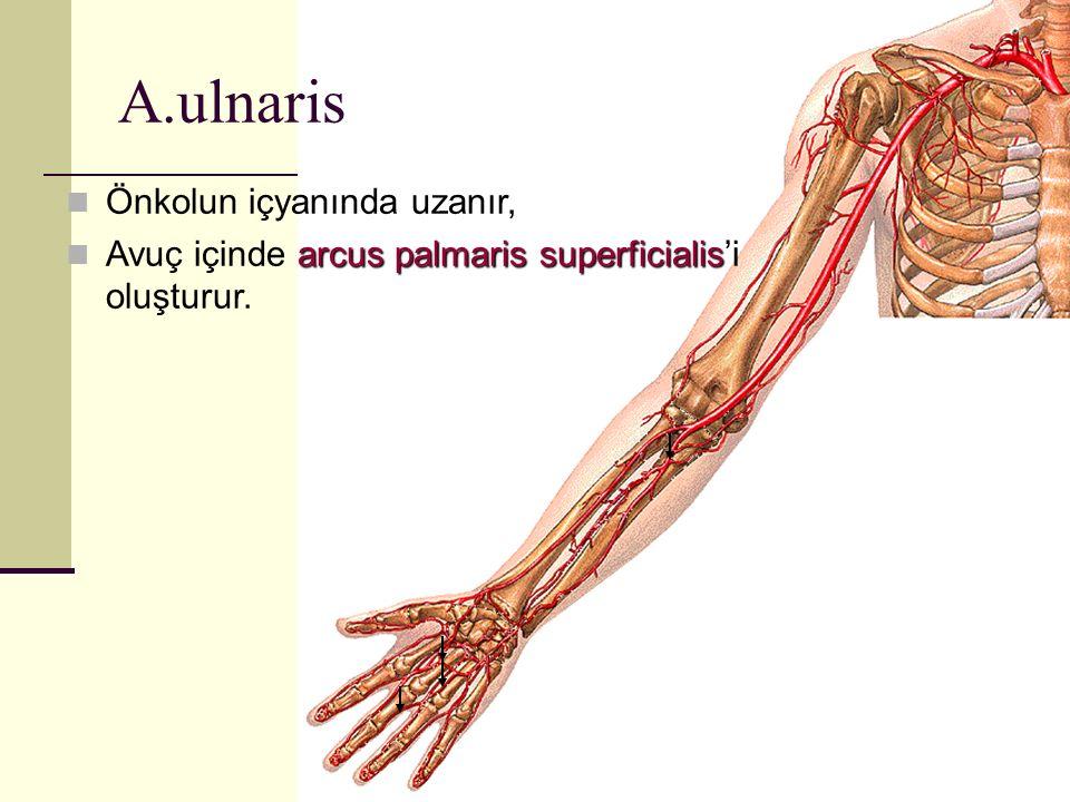 Önkolun içyanında uzanır, arcus palmaris superficialis Avuç içinde arcus palmaris superficialis'i oluşturur. A.ulnaris