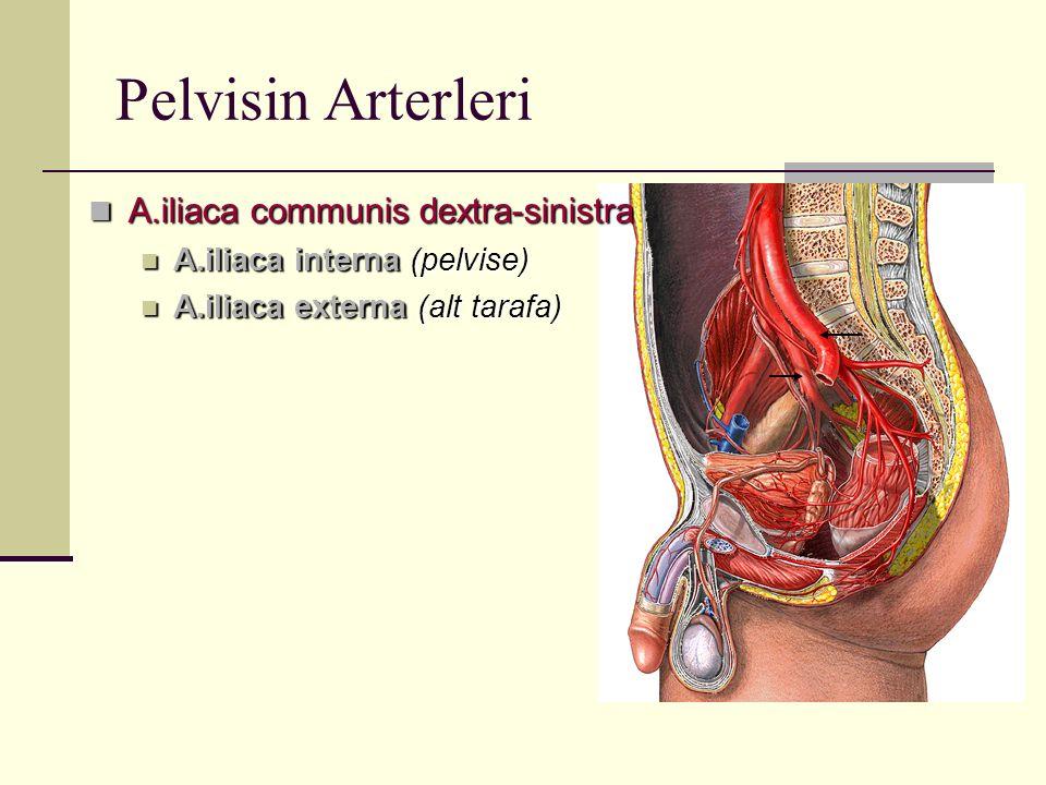 Pelvisin Arterleri A.iliaca communis dextra-sinistra A.iliaca communis dextra-sinistra A.iliaca interna (pelvise) A.iliaca interna (pelvise) A.iliaca