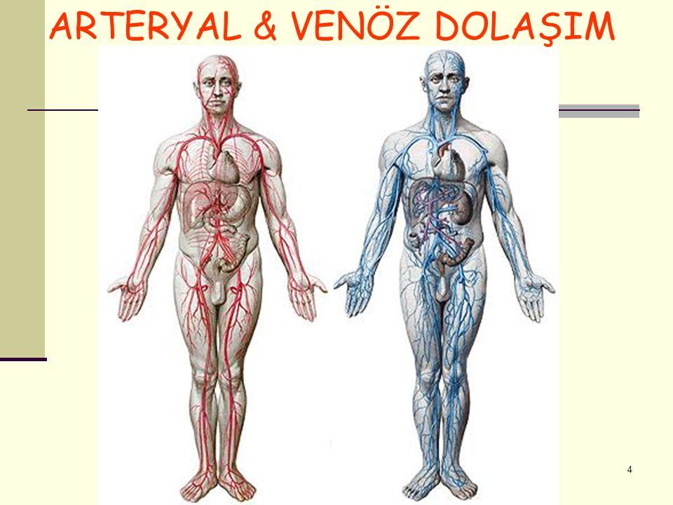 KALBİ BESLEYEN DAMARLAR Koroner Arterler – aorta'dan çıkarlar A.coronaria dextra R.marginalis dexter R.interventricularis posterior A.coronaria sinistra R.interventricularis anterior R.circumflexus