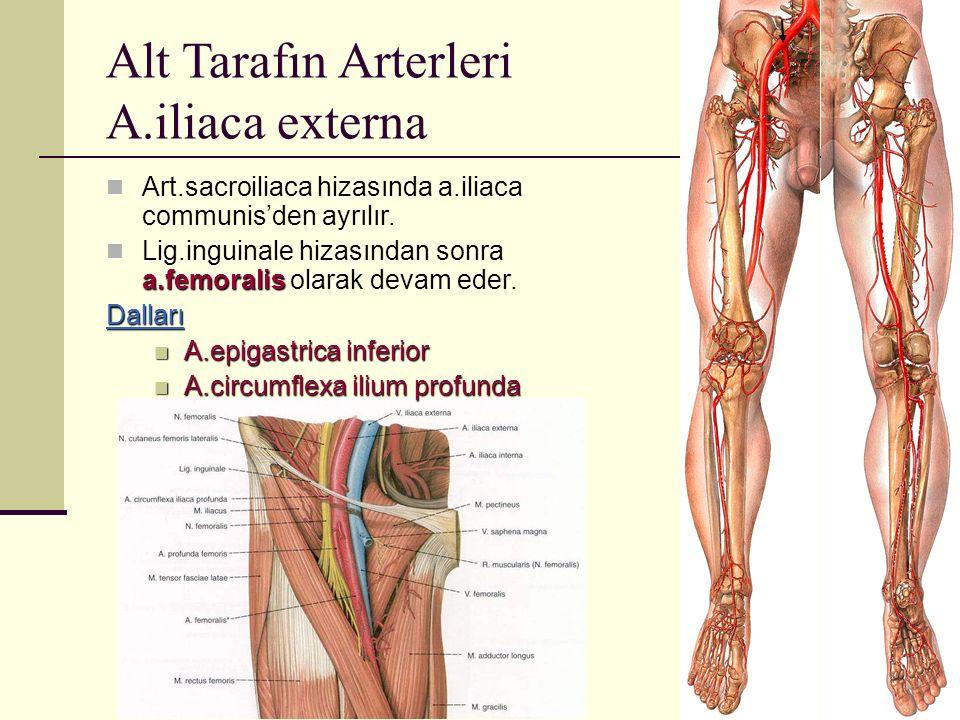 Alt Tarafın Arterleri A.iliaca externa Art.sacroiliaca hizasında a.iliaca communis'den ayrılır. a.femoralis Lig.inguinale hizasından sonra a.femoralis