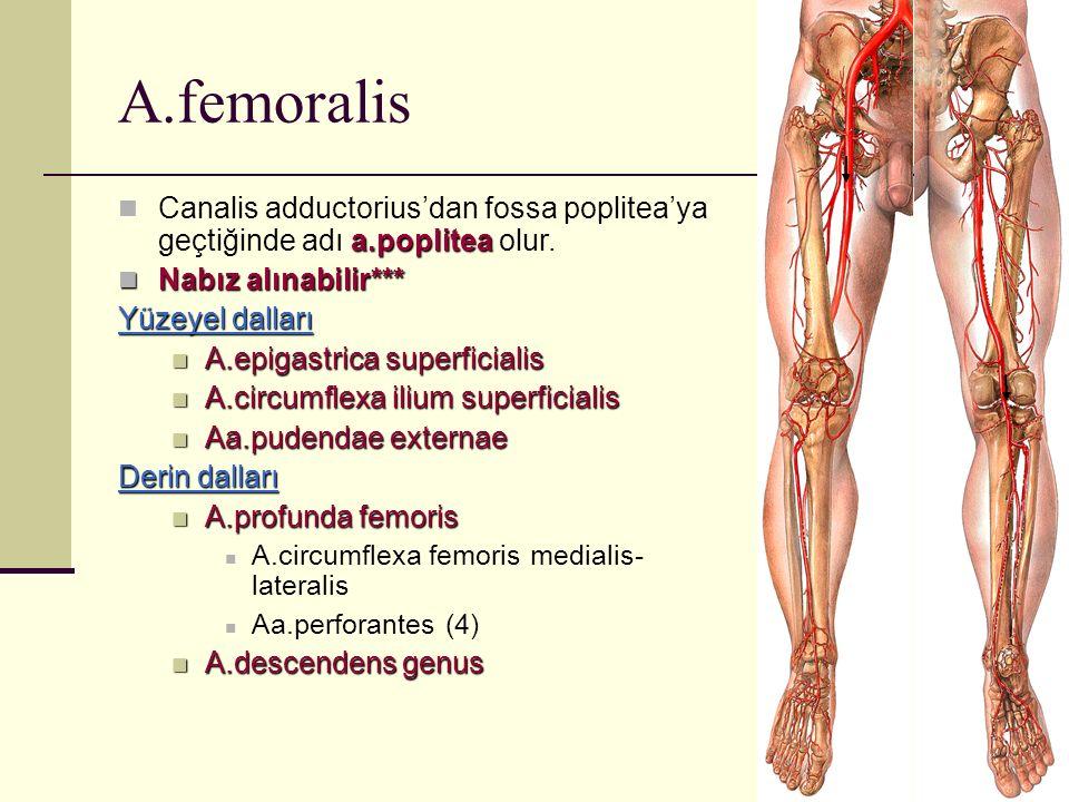 A.femoralis a.poplitea Canalis adductorius'dan fossa poplitea'ya geçtiğinde adı a.poplitea olur. Nabız alınabilir*** Nabız alınabilir*** Yüzeyel dalla