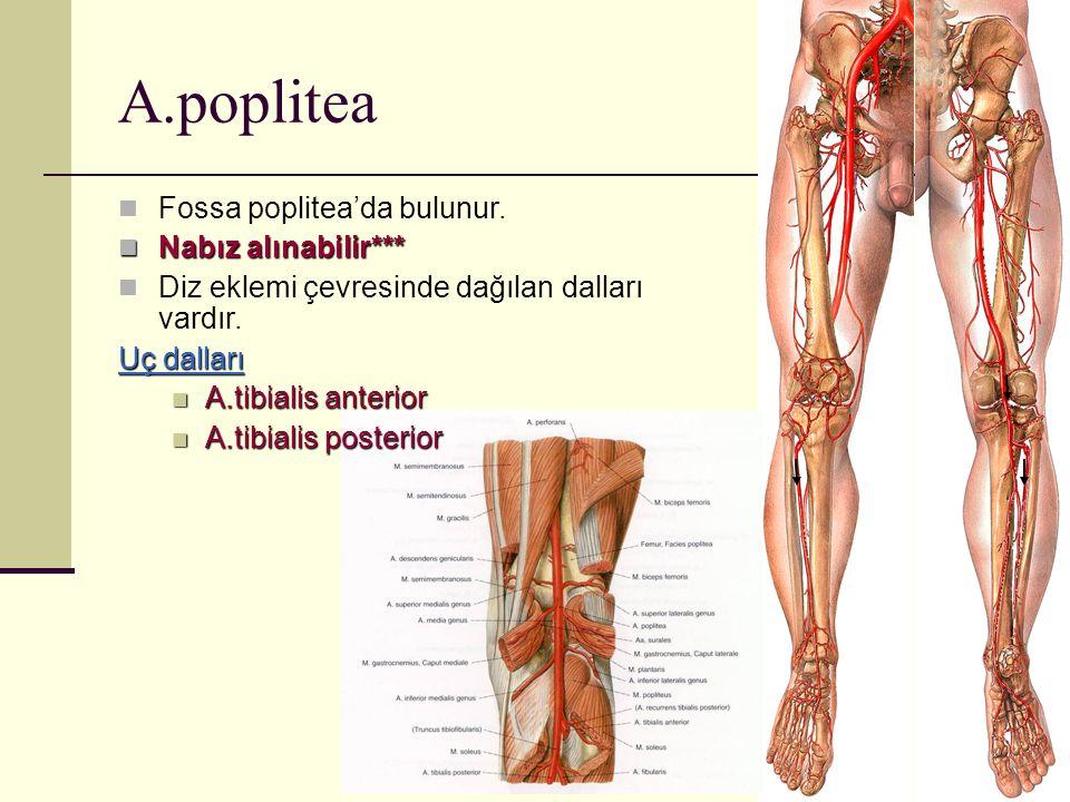 A.poplitea Fossa poplitea'da bulunur. Nabız alınabilir*** Nabız alınabilir*** Diz eklemi çevresinde dağılan dalları vardır. Uç dalları A.tibialis ante