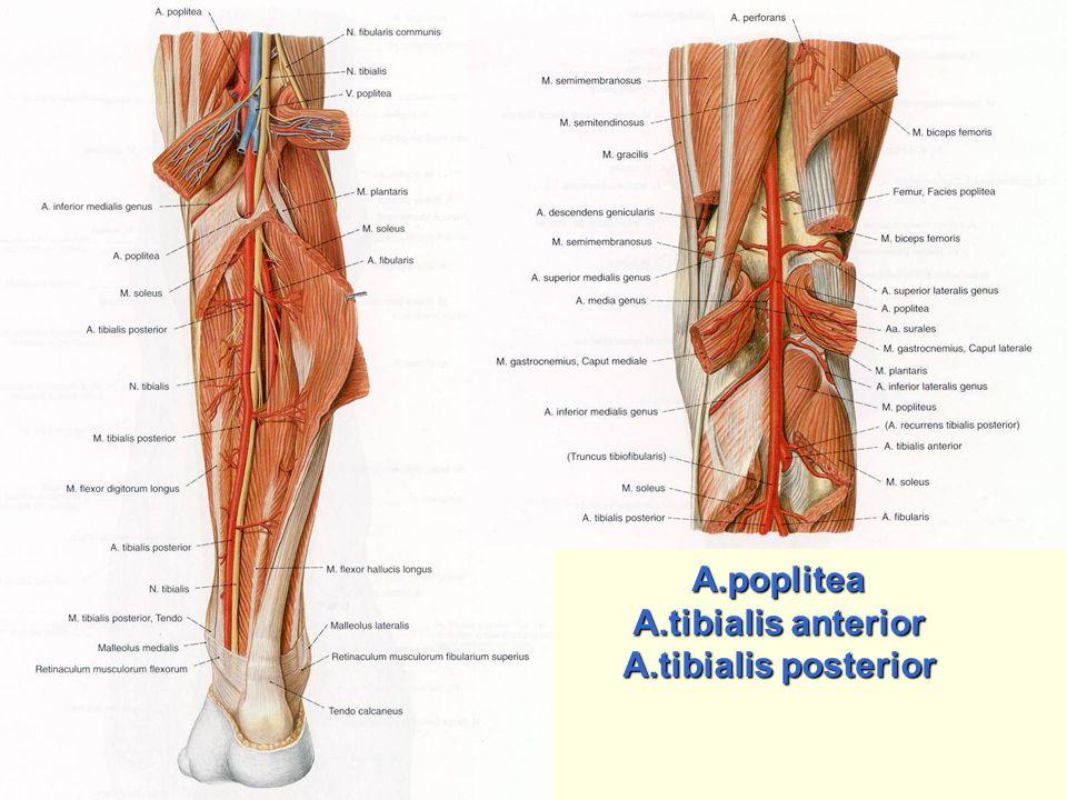 A.poplitea A.tibialis anterior A.tibialis posterior