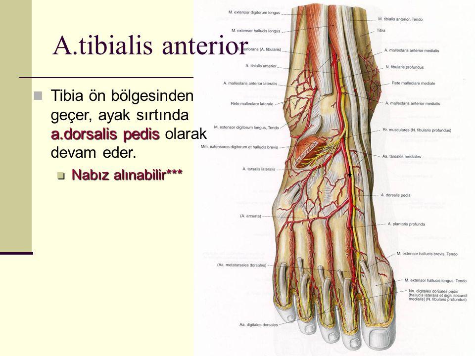A.tibialis anterior a.dorsalis pedis Tibia ön bölgesinden geçer, ayak sırtında a.dorsalis pedis olarak devam eder. Nabız alınabilir*** Nabız alınabili
