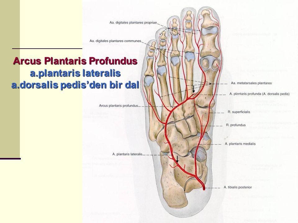 Arcus Plantaris Profundus a.plantaris lateralis a.dorsalis pedis'den bir dal