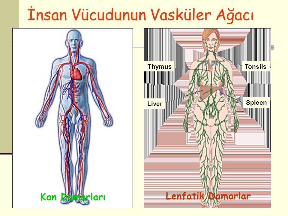 5 Thymus Liver Tonsils Spleen İnsan Vücudunun Vasküler Ağacı Lenfatik Damarlar Kan Damarları