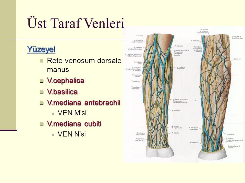 Yüzeyel Rete venosum dorsale manus V.cephalica V.cephalica V.basilica V.basilica V.mediana antebrachii V.mediana antebrachii VEN M'si V.mediana cubiti