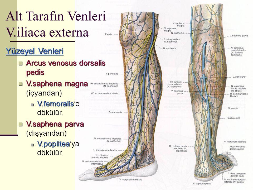 Yüzeyel Venleri Arcus venosus dorsalis pedis Arcus venosus dorsalis pedis V.saphena magna V.saphena magna (içyandan) V.femoralis V.femoralis'e dökülür