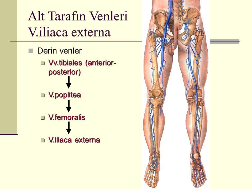Alt Tarafın Venleri V.iliaca externa Derin venler Vv.tibiales (anterior- posterior) Vv.tibiales (anterior- posterior) V.poplitea V.poplitea V.femorali