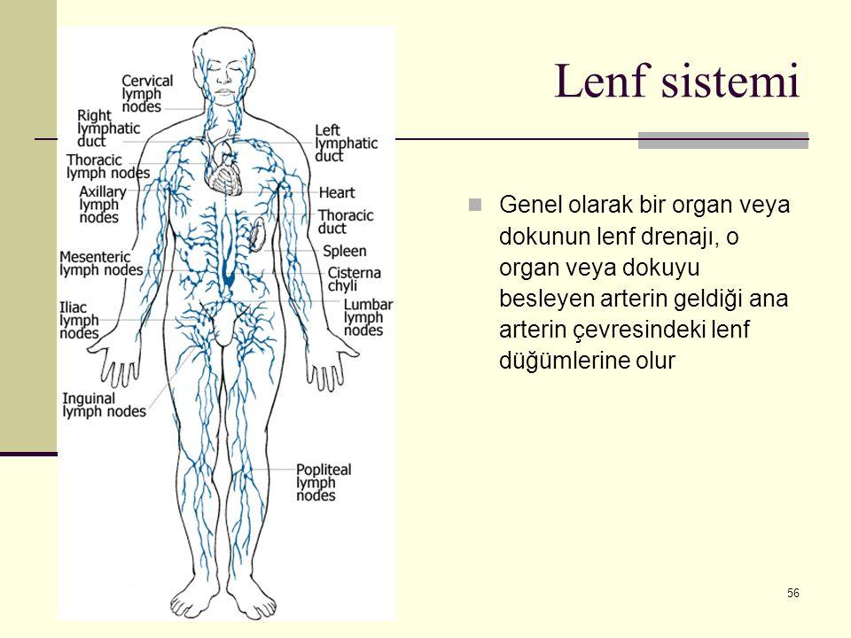 56 Lenf sistemi Genel olarak bir organ veya dokunun lenf drenajı, o organ veya dokuyu besleyen arterin geldiği ana arterin çevresindeki lenf düğümleri