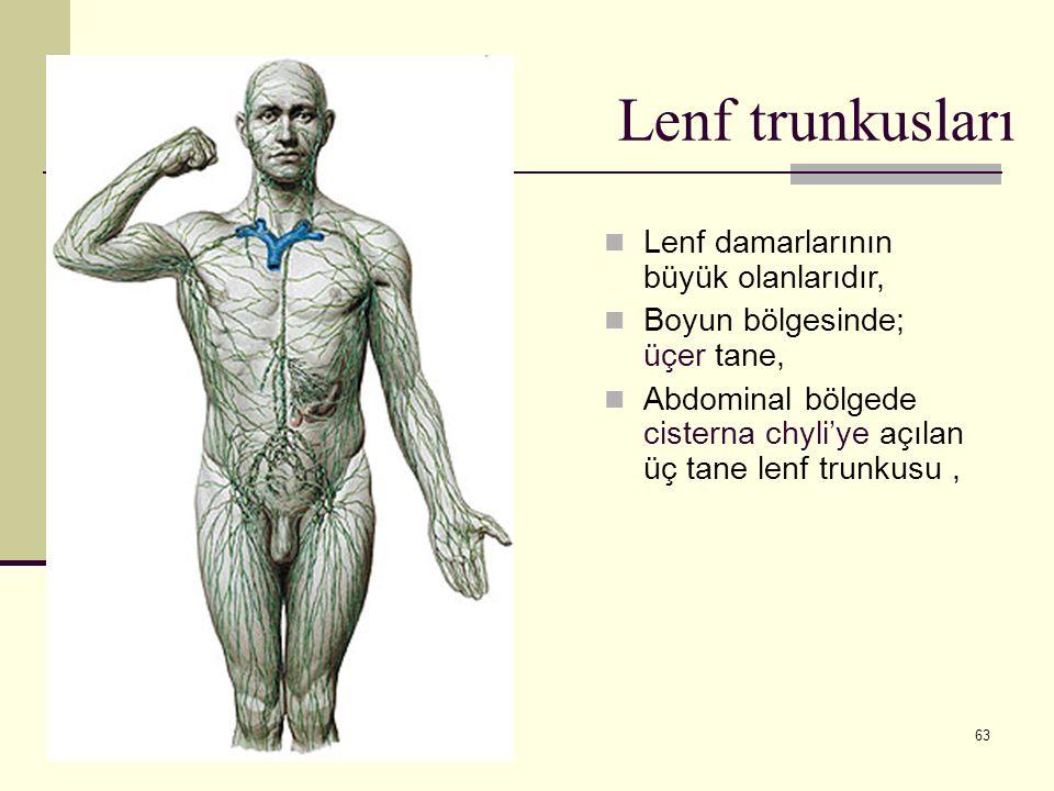 63 Lenf trunkusları Lenf damarlarının büyük olanlarıdır, Boyun bölgesinde; üçer tane, Abdominal bölgede cisterna chyli'ye açılan üç tane lenf trunkusu