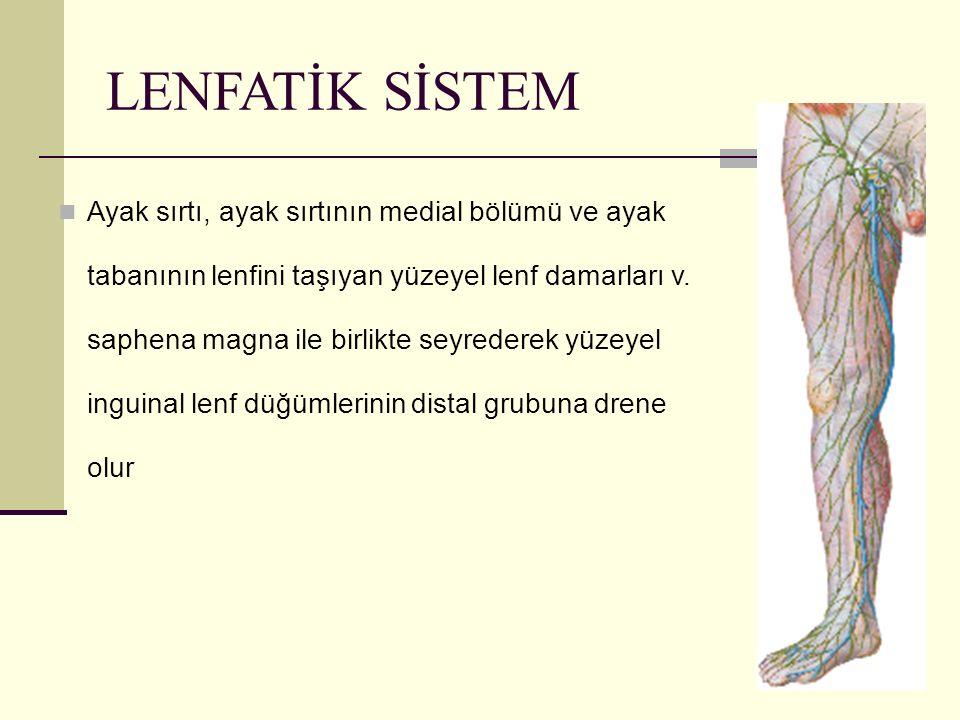 68 LENFATİK SİSTEM Ayak sırtı, ayak sırtının medial bölümü ve ayak tabanının lenfini taşıyan yüzeyel lenf damarları v. saphena magna ile birlikte seyr
