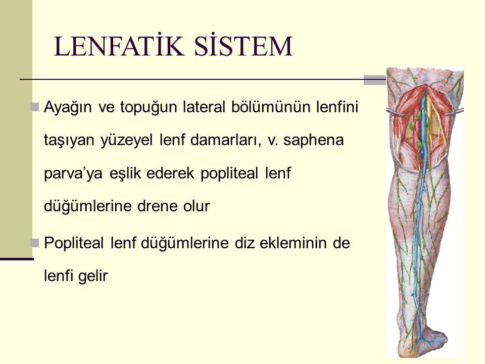 69 LENFATİK SİSTEM Ayağın ve topuğun lateral bölümünün lenfini taşıyan yüzeyel lenf damarları, v. saphena parva'ya eşlik ederek popliteal lenf düğümle