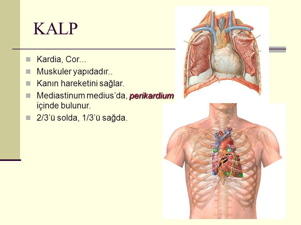 KALP Kardia, Cor... Muskuler yapıdadır.. Kanın hareketini sağlar. perikardium Mediastinum medius'da, perikardium içinde bulunur. 2/3'ü solda, 1/3'ü sa