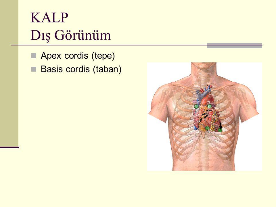 KALP Dış Görünüm Apex cordis (tepe) Basis cordis (taban)